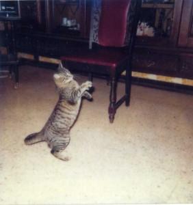 Carlos chat poli je me dresse sur les deux pattes arrière pour dire bonjour