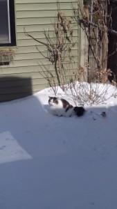 Chat québécois s'efforçant à la discrétion dans son jardin enneigé , mais néanmoins surpris par son propriétaire....